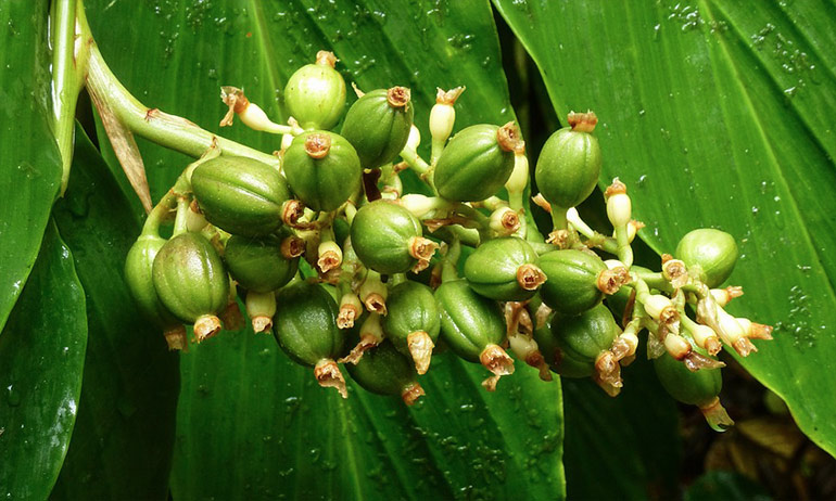estratto di chicco di caffè verde puro plus